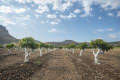 Grafting mango tree. In the field Stock Photo