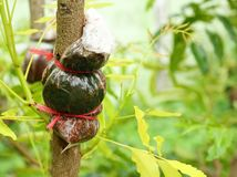 Grafting on neem tree. Grafting on the branch of neem tree Royalty Free Stock Photos