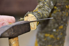 Grafting old apple tree on spring Royalty Free Stock Images