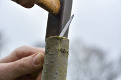 Grafting old apple tree on spring Royalty Free Stock Photos