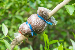 Grafting on tree branch, agricultural in Thailand Stock Images