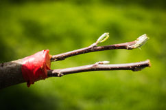 Grafting trees. Grafting cuttings of trees in spring Royalty Free Stock Photography
