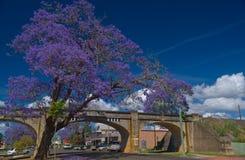 Grafton-Jacarandajahreszeit Lizenzfreie Stockfotografie