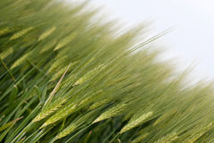 Grain. Big nice green grain background Royalty Free Stock Images