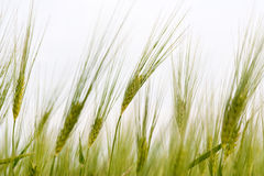 Grain. Big nice green grain background Stock Images