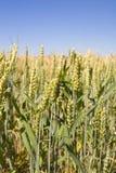 Grain. Bread wheat stock images