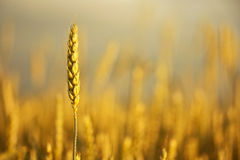 Grain Royalty Free Stock Photos
