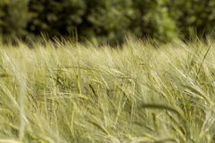 Grain Stock Photography