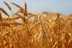 Grain Stock Images