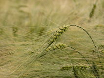 Grain Royalty Free Stock Photography