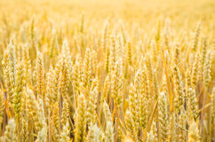 Grain. Growing in a farm field Stock Image