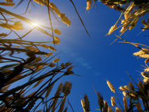 Grain. Mature grain in the summer sun and blue sky Royalty Free Stock Photo