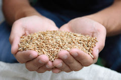Grain. Of wheat in hands Stock Photo