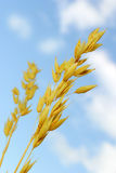 Grain. Against blue sky stock photos