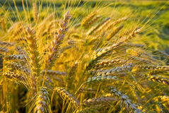 Grain Stock Image
