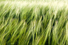Grain Royalty Free Stock Image