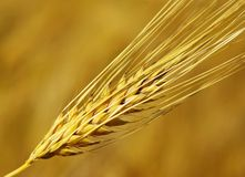 Grain. Yellow grain ready for harvest growing in a farm field Stock Photos