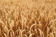 Grain Stock Image