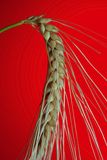 Grain. Crop on red background Stock Photos