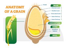 Grain anatomical layers vector illustration diagram. Grain anatomical layers vector illustration diagram with bran, endosperm, germ and hull. Biology science Royalty Free Stock Images