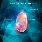 Grain anatomy background. Grain anatomy on a triangle abstract background. Cross section of a grain. Endosperm, germ, bran layer and hairs of brush Stock Photography