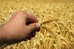 Grain And Hand Royalty Free Stock Photography