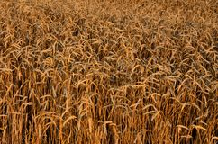 Grain background. Golden Grain in sunny day background texture Royalty Free Stock Photo
