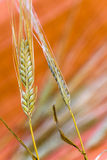 Grain .barley,ready For Harvest Growing In A Farm Stock Image
