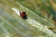 Grain Beetle Anisoplia Austriaca Stock Photos