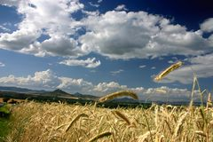 Grain with blue sky. Grain season, blue sky with white clouds Royalty Free Stock Images