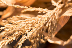 Grain royalty free stock photo