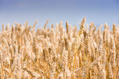 Grain and cereal Royalty Free Stock Photography