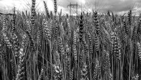 Field with grain stock photos