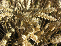 Grain close-up. Ready for thanksgiving royalty free stock photos