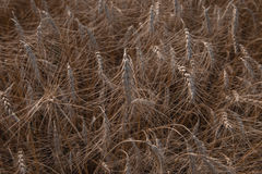 Grain close up, wheat field. Farming and agriculture. New harvest on wheat field. Stock Photos