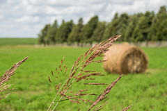 Grain. Closed up with blur field background Royalty Free Stock Photo