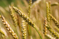 Grain closeup Royalty Free Stock Photos