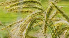 Grain stock video footage