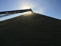Grain conveyor pouring wheat onto a stack Stock Images