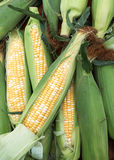 Grain of corn Royalty Free Stock Photos