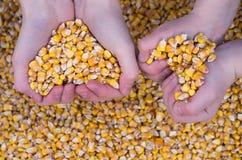 Grain corn Stock Photos