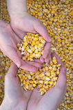 Grain of corn Stock Photo