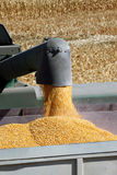 Grain Corn Flowing Into Hopper. Fresh yellow grain corn flowing from combine harvester into waiting hopper stock images