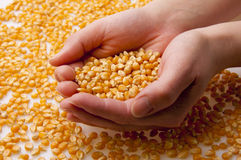 Grain  of corn in hands (2) Royalty Free Stock Image