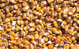 Grain corn harvest. Ripe grain of the harvest of corn Stock Image