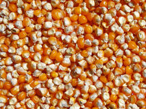 Grain corn maize food corn seed background. Grain corn  food corn seed background Stock Photos