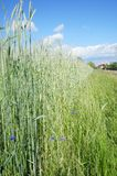 Grain and cornflowers Stock Images
