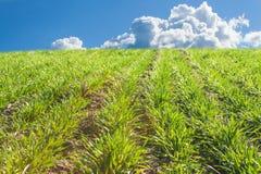 Grain croissant Culture semée Élevage sur un champ de ferme Pousses de vert des usines Image libre de droits