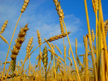 Grain crop Royalty Free Stock Photo