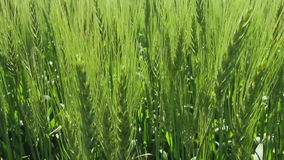 Grain crop in the early summer stock video